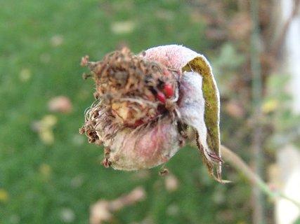 FOTKA - odkvitnutá ruža