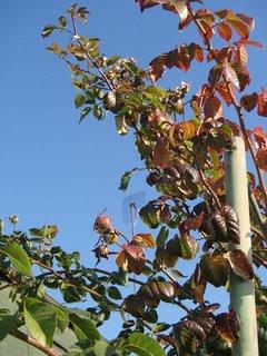 FOTKA - krík ruže na jeseň