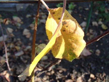 FOTKA - žltý list jablone