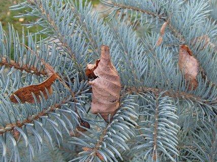 FOTKA - suché listy na jedličke