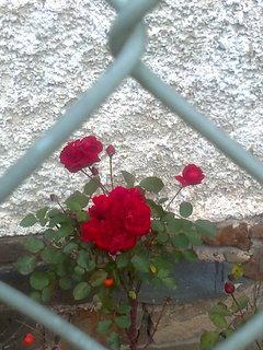 FOTKA - Červená růžička kvete i v prosinci