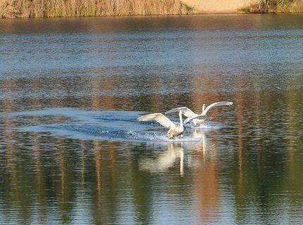 FOTKA - Labutí přistání