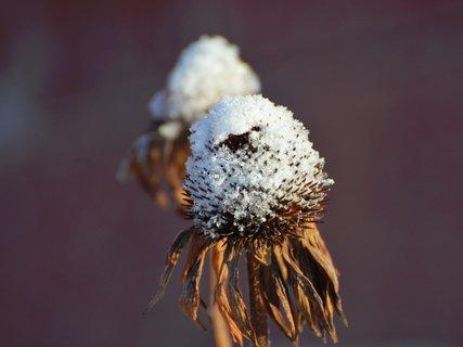 FOTKA - Echinacea v zimním kabátku