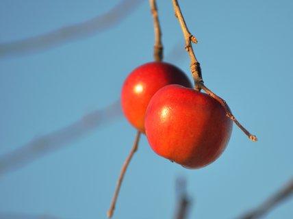 FOTKA - Mražená jablíčka