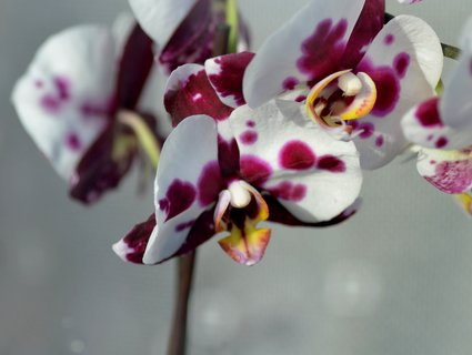 FOTKA - Kropenatá orchidejka