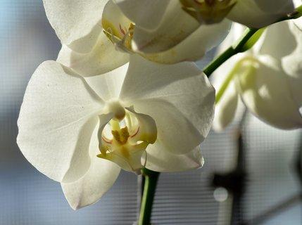 FOTKA - Rodičů bílá orchidejka