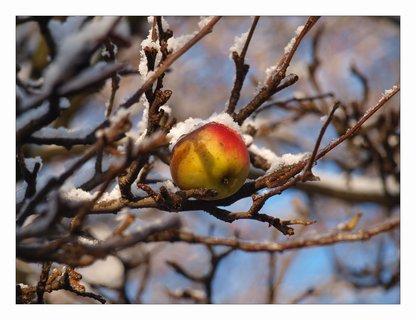 FOTKA - zapomenuté jablíčko