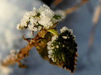 FOTKA - Kopřiva v ledovém zajetí