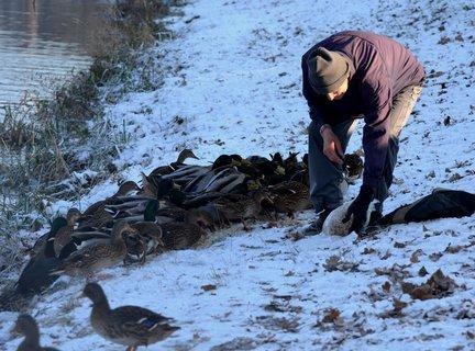 FOTKA - Pán asi chodí krmit pravidelně kačky k němu běžely jen promluvil
