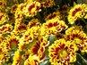 Chryzantémy..říjnové.