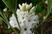 skalkový rododendron