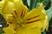 tulipán 52