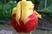 tulipán 41