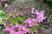 azalka na skalce fialová