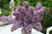 kytice šeříku