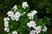 anglický muškát v zahradě