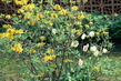 žlutá azalka