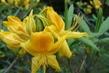 detail květu žluté azalky