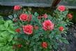 růžička ve skleníku