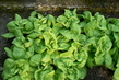 salát ve skleníku