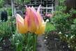 vícekvětý tulipán