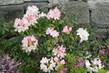 rododendron u zdi