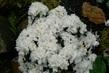 azalka,samý květ