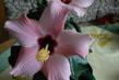 detail květu růžového