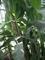 Velké banánovníky zblízka