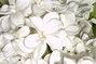 bílý šeřík-detail