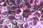 fialovo-bílý šeřík