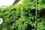 moje zahrada - bujné kiwi