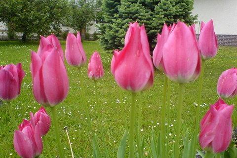 FOTKA - Tulipánky