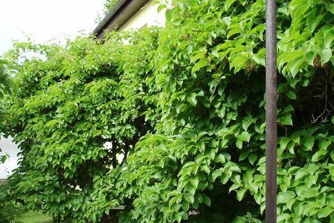 FOTKA - moje zahrada - bujné kiwi