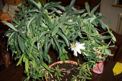FOTKA - mučenka květ