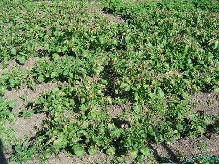 FOTKA - brambory 2012