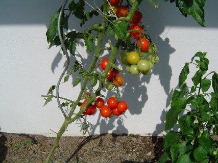 FOTKA - červená rajčátka