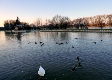 FOTKA - Kachny a labutě v podvečer ve městě