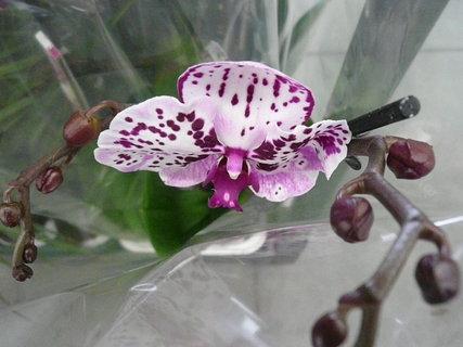 FOTKA - orchidej,