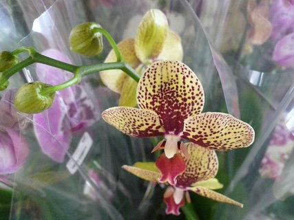 FOTKA - orchidej,,