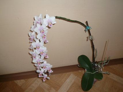 FOTKA - orchidej u kamaradky