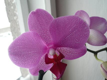 FOTKA - orchidej u kamarádky,