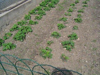 FOTKA - jahody duben 2012