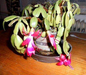 FOTKA - Torzo vánočního kaktusu u babičky