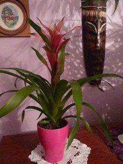 FOTKA - dnes jsem dostala od syna kytičku-bromélii