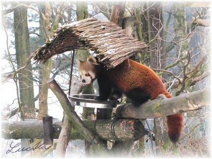 """FOTKA - Panda červená v """"krmítku"""""""