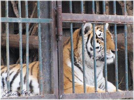 FOTKA - Vyhlížející tygr