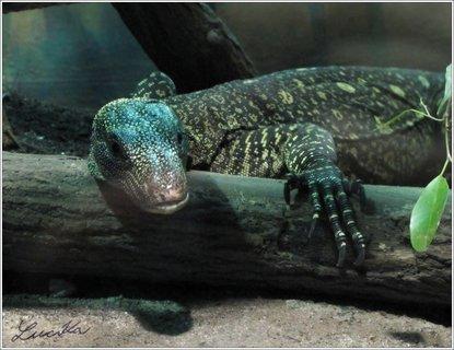 FOTKA - Modročerný ještěr