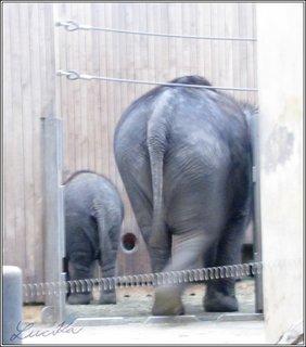 FOTKA - Malý a velký slon zezadu