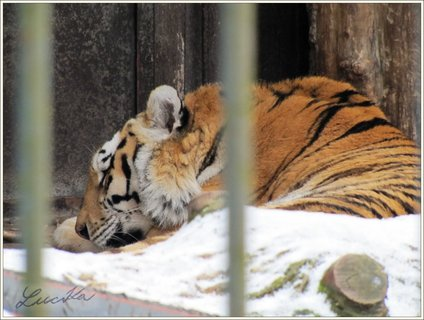 FOTKA - Detail odpočívajícího tygra